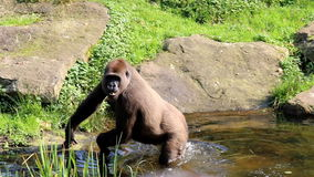 Gorilla runs into water to find food stock footage