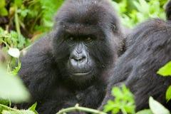 gorilla rwanda Royaltyfri Bild
