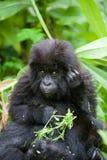 gorilla rwanda Royaltyfri Fotografi