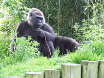 Gorilla's royalty-vrije stock afbeelding