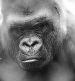 gorilla's Royalty-vrije Stock Afbeeldingen