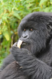 Gorilla's dinner time royalty free stock images