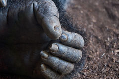 Gorilla`s hand. Macro wild photo Stock Photos