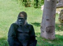 Gorilla in safaridier, het wild, aard, Afrikaans wild zoogdier stock foto