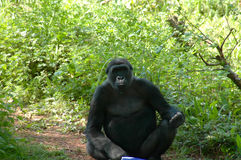 Gorilla. Sat down looking at the camera Stock Images