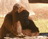 Gorilla scratching head. Royalty Free Stock Photo