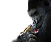 Gorilla showing family love to a bird. A gentle giant and a fragile songbird sharing a tender moment of curiosity stock images