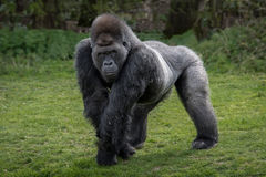 Gorilla. A silver back gorilla standing and looking alert and menacing against a natural background Stock Image