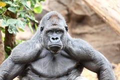 Gorilla - silverback gorilla Royalty-vrije Stock Afbeeldingen