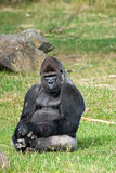 Gorilla silverback relaxing. Gorilla silverback sitting on grass relaxing and looking around Royalty Free Stock Photos