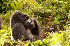 Gorilla Silverback resting pose. A huge male Silver back Mountain Gorilla taking a time out.  Parc Nationales des Volcanoes, Rwanda Stock Photos