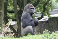 Gorilla silverback Royalty Free Stock Image