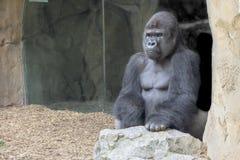 Gorilla silverback Stock Image