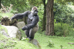 Gorilla silverback Royalty Free Stock Photo