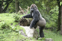 Gorilla silverback Stock Images
