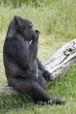 Gorilla Sit Royalty Free Stock Photos