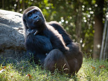Gorilla sits on the floor. Relaxed and thinking Stock Images