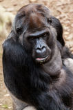 Gorilla sits on a stone Stock Photography