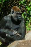 Gorilla sits in the sun. Gorilla portrait Royalty Free Stock Images