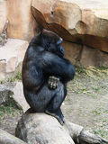 Gorilla Sits and Thinks Royalty Free Stock Image