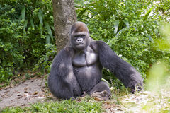 Gorilla Sitting Stock Photography