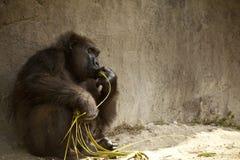 Gorilla Sitting Royalty Free Stock Image