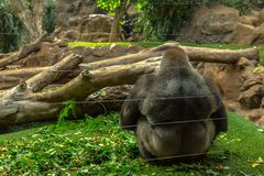 Gorilla Sitting Royalty Free Stock Photos