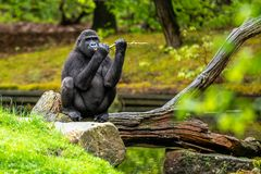 Gorilla on a branch on the edge of the pool royalty free stock photos