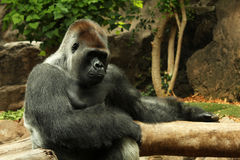 Gorilla sitting on a branch. Portrait of a male gorilla taken in Tenerife Stock Images