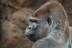 Gorilla. Sitting in captivity. Tele Royalty Free Stock Photos