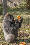 Gorilla sitting and eating a pumpkin Stock Image