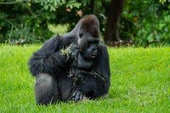 Gorilla Sitting et regard vers le bas tout en mangeant de la nourriture images libres de droits