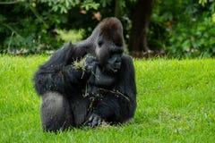 Gorilla Sitting et regard vers le bas tout en tenant la nourriture images stock
