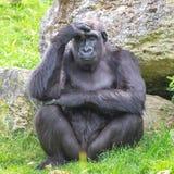 Gorilla, monkey stock photography