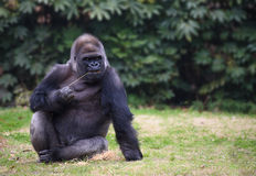 Gorilla sitting on a grass Stock Photo