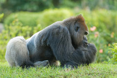 Gorilla sitting on grass Stock Photography