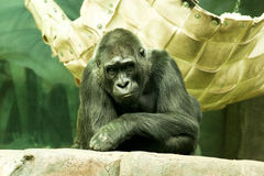 Gorilla sitting. A large male silver of back gorilla sitting Royalty Free Stock Images