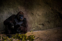 Gorilla Sitting Near Grey Rock Wall Stock Images