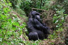 Gorilla Sitting In Rain Forest Stock Images