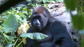 Gorilla sitting shade stock video