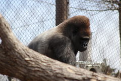 Gorilla sitting in trees. Gorilla in cage or enclosure sitting in trees Royalty Free Stock Photo