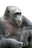 A gorilla sitting on white background, isolated Royalty Free Stock Photography