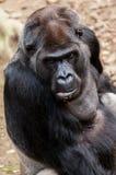 Gorilla sitzt auf einem Stein Stockfotografie