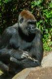 Gorilla sitzt in der Sonne Lizenzfreie Stockbilder