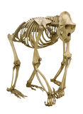 Gorilla skeleton isolated on white Royalty Free Stock Photography