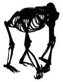 Gorilla skeleton silhouette isolated on white Stock Photos