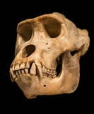 Gorilla skull. The skull of an adult gorilla Stock Photos