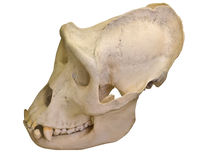 Gorilla skull isolated on white Royalty Free Stock Photos