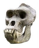 Gorilla skull. Male gorilla skull isolated on white Stock Photos