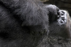 Gorilla sleeping Royalty Free Stock Photo